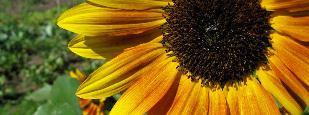 sunny_sunflower_BBG